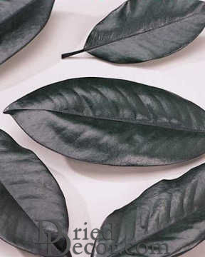 Preserved Magnolia Leaves - Bulk Box [KN31108020]