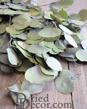 Dried Silver Dollar Eucalyptus - Kiwi Green