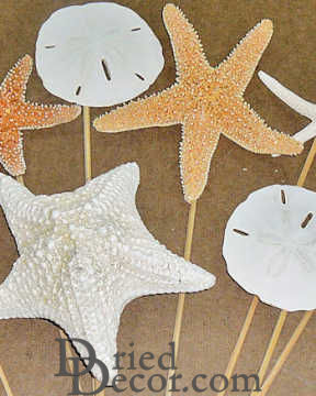 Dried Starfish and Sand Dollars Stemmed