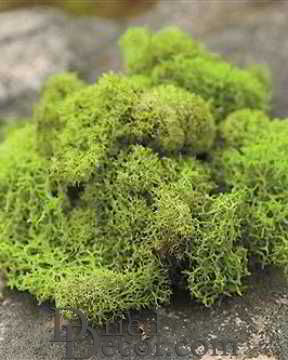 Preserved Reindeer Moss Dried