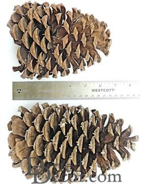 Jeffrey Large Pine Cones (PineCones)