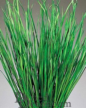 Bayou Grass - Dried Green or Natural