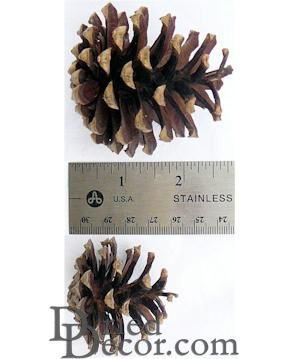 Lodgepole Pine Cones Cleaned