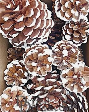 White Tipped Pine Cones