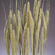 Dried Chinese Millet - China Millet