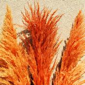 Dried Pampas Grass - Orange Color