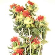 Dried Safflower bunches