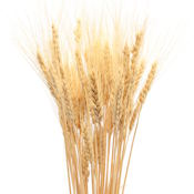 Dried Wheat Bunch - 8oz blond