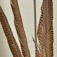 Golden Pheasant Feathers - Real