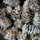Horned Spruce Pine Cones
