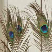 Peacock Eye Feathers Buy