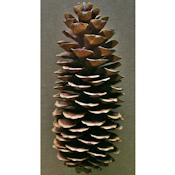 Sugar Pine Cones Seconds - Very Long Pine cones