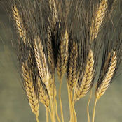 Blackbeard Wheat Bunch - 8oz