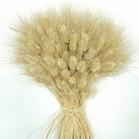 Large Dried Club Wheat Bunch - Blond 1lb bunch