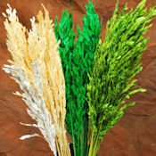 Decorative Mini Oats - Dried