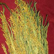 Ornamental Rice Bundle (Dried)